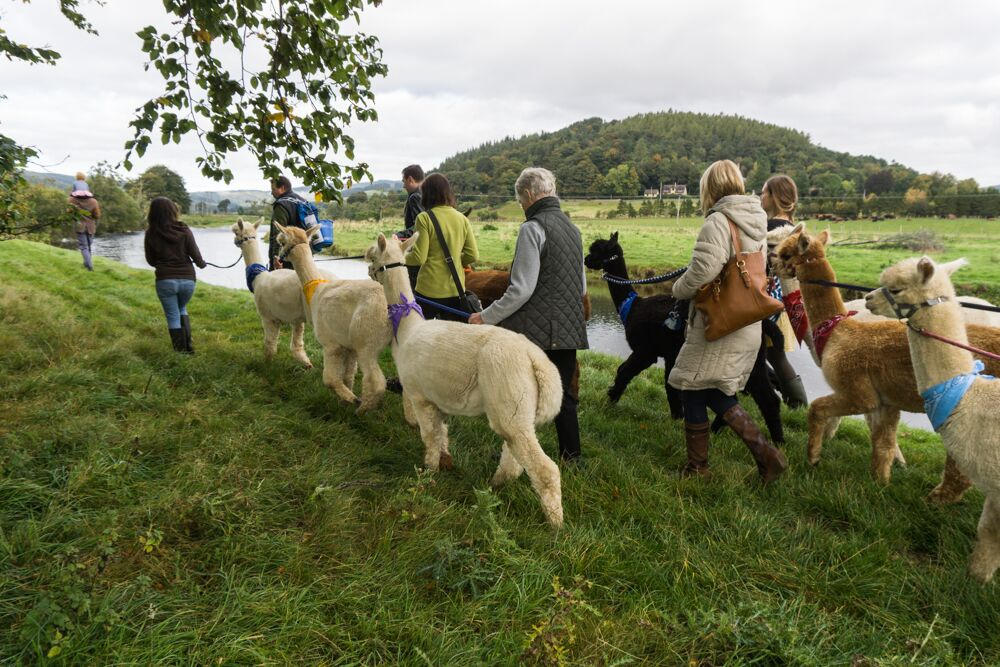 Walking with Alpacas - Borders Wellness Retreat